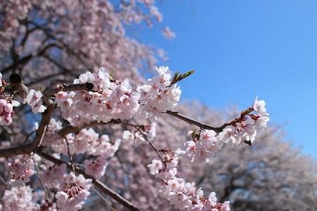 SHT中成沢_分譲地から見える桜2_450×300